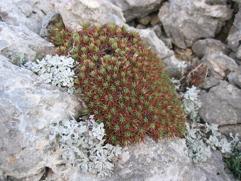 Acantholimon androsaceum (Mnt.Parnon)