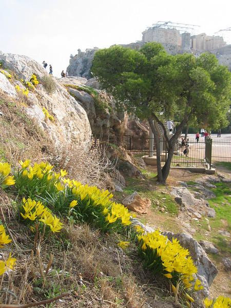 Sternbergia lutea (Athens)