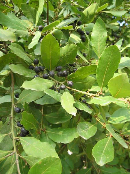 Laurus nobilis (fruit)