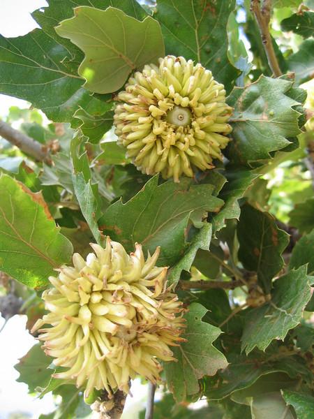 Quercus aegilops ( Q. macrolepis )