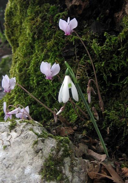 Galanthus reginae-olgae ssp.reginae-olgae