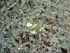 Astragalus lacteus (Mount Parnon)