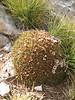 Acantholimon androsaceum