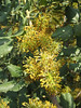 Ceratonia siliqua (Johannesbroodboom)