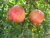Punica granatum (in fruit)