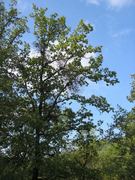 Loranthus europaeus on Quercus pubescens (NL: Mistletoe op donzige eik)