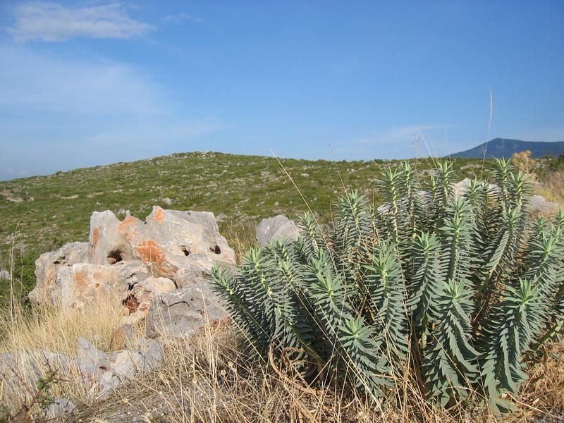 Euphorbia rigida (Mani peninsula)