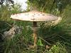 Macrolepiota procera (NL: Grote parasolzwam)