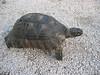 Testudo marginata (NL: Breedrandschildpad)