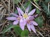Colchicum psaridis