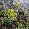 Draba lasiocarpa, Mount Vermion 2052m (K)
