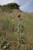 Onopordum cf. illyricum, near Metallio, Lamia-Karditsa