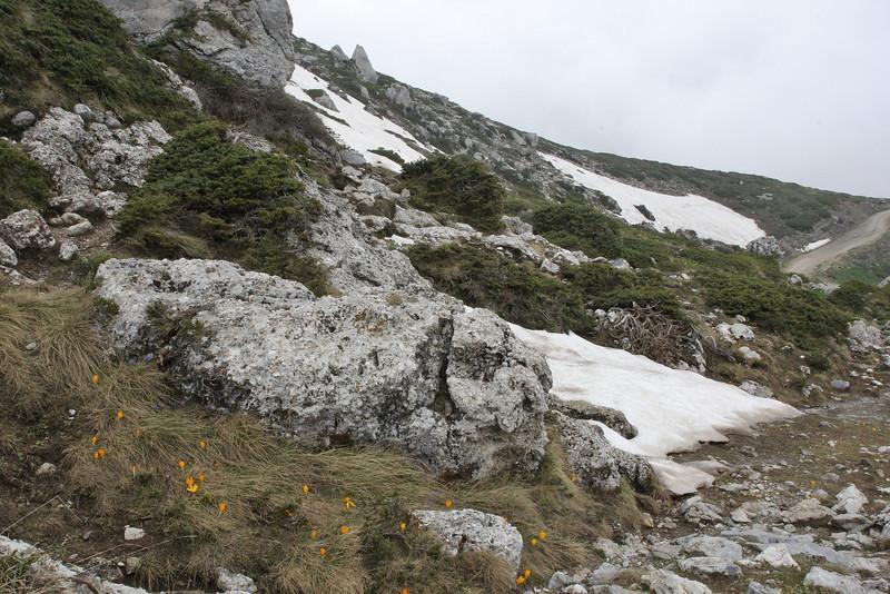 Crocus cvijcii, 1920m, Mount Vermion 2052m (K)