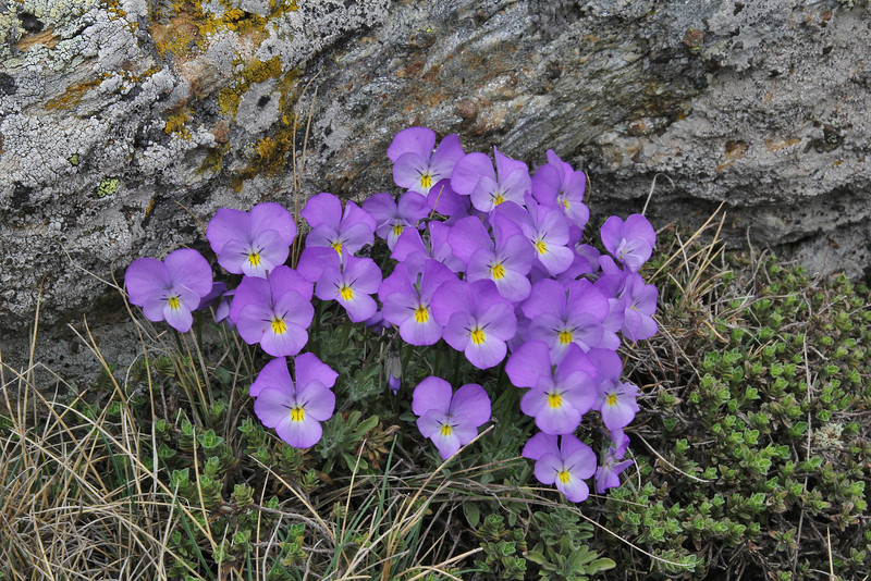 Viola doerfleri,? 2000m, Kajmaktcalan, 2521m, near the Macedonian border (L)
