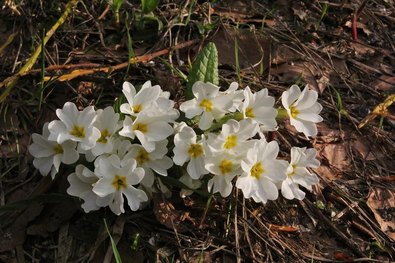 Primula vulgaris ssp. sibthorpii, 2km N of Metsovon, Kataras Pass