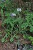 Centaurea triumfetti, (taller than C. pindicola)beneath Agios Dionysios Monastery, Olympic Nat. Parc.