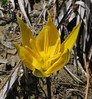 Tulipa australis, 1650m serpentine, 2km after snow plow station, Kataras pass 1690m