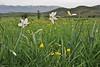 Narcissus poeticus ssp. radiiflorus, 4km N of Metsovon, Kataras Pass