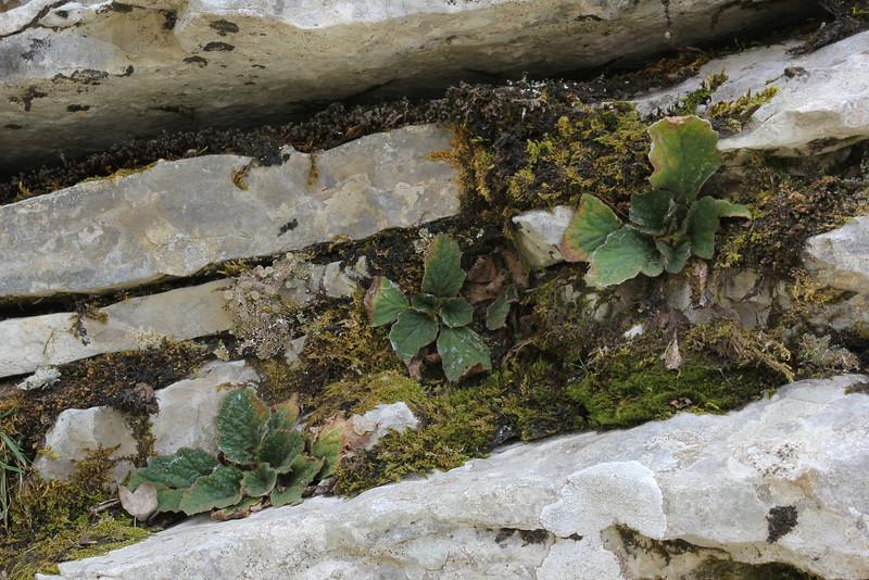 Ramonda serbica, limstone rocks near the Vikos Gorge, Monodendri-Kipi