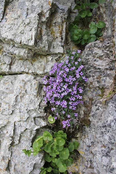 Aubrieta deltoidea, Vikos Balcony, near Monastery at Monondendri