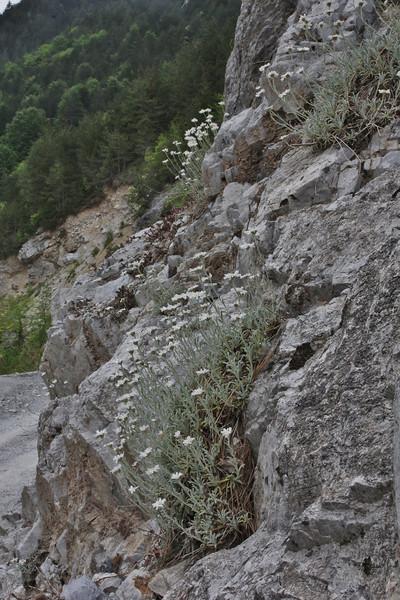 Achillea ageratifolia, 1000m, Agios Dionysios  Monastery-Prionia, Olympus NP