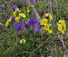 Viola eximia?, Kajmaktcalan, 2521m, near the Macedonian border (L)