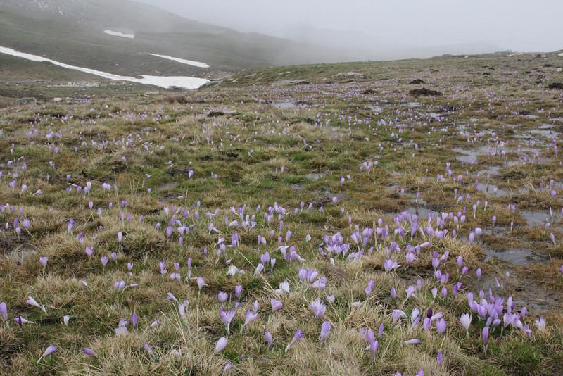 Crocus veluchensis, Kajmaktcalan, 2521m, near the Macedonian border (L)