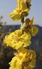 Verbascum undulatum, Delphi-Kroki, Above geological site
