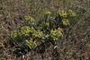Euphorbia myrsinites, 1100m, S of Livadia Plain