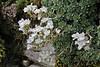 Saxifraga marginata, limestone rocks near the Vikos Gorge, Monodendri-Kipi