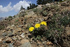 Taraxacum pindicola, partially serpentine, Kataras Pass 1690m, N of Metsovo
