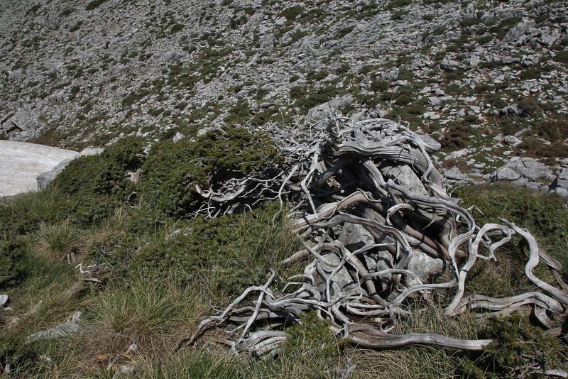 Old trunk of Juniperus ?,Parnassos 2457m