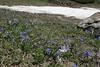 Scilla bifolia and Crocus veluchensis, partially serpentine, Kataras Pass 1690m, N of Metsovo