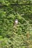 Lanius collurio, Red-backed Shrike, (NL: grauwe klauwier), Mount Vermion 2052m (K) NW of Naousa