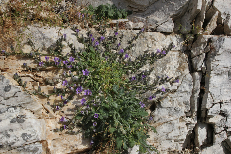 Campanula celsii , Mount Imittos 1026m, N of Athens