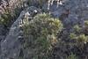 Genista parnassica, Delphi-Kroki, Above geological site