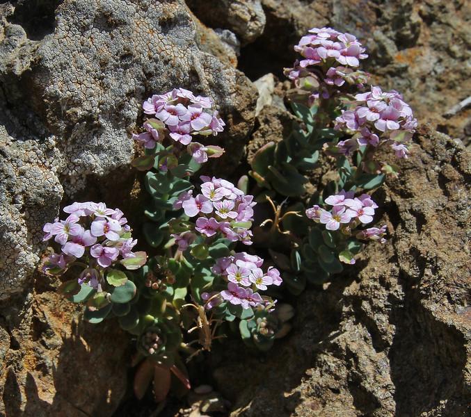 Aethionema saxatile, (A. carlsbergii ?), partially serpentine, Kataras Pass 1690m, N of Metsovo