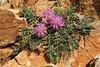 Centaurea raphanina, Mount Imittos 1026m, N of Athens