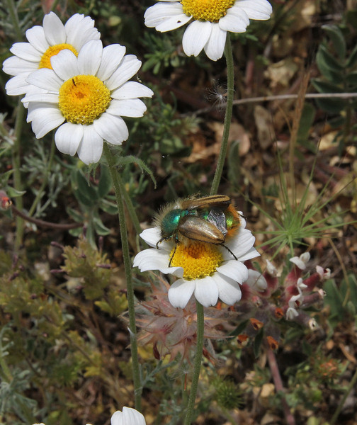 Anthemis spec., near Metallio, Lamia-Karditsa