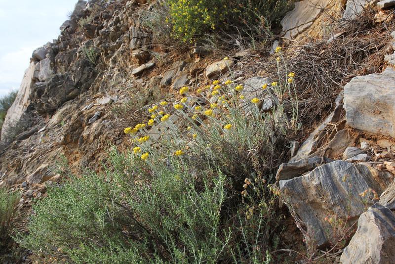 Gnaphalium luteo-album, Mount Imittos 1026m, N of Athens