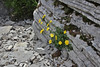 Doronicum columnae?, 1300m Limestone rocks near the Vikos Gorge, Monondendri