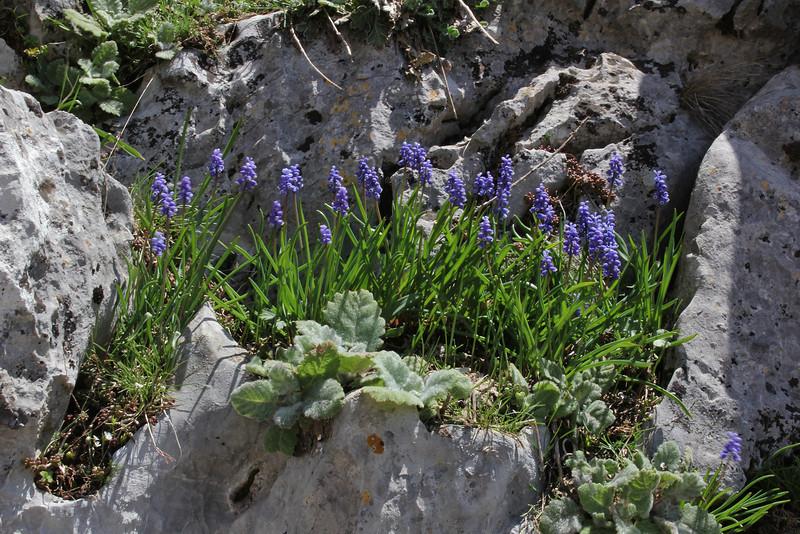 Muscari cf. armeniacum, Parnassos 2457m