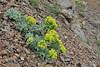 Euphorbia myrsinites, E-side of Kataras  Pass 1690m, N of Metsovo