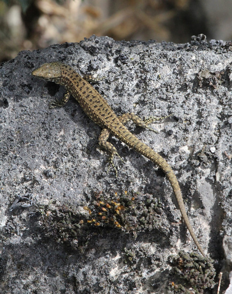 Hellenolacerta graeca, Greek Rock Lizard, 1350m Vikos balcony, Monastery at Monondendri, Vikos Gorge
