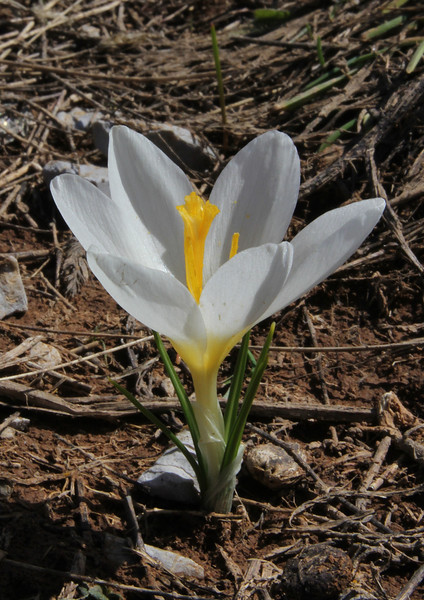 Crocus sieberi ssp. sublimis, light form, Parnassos 2457m