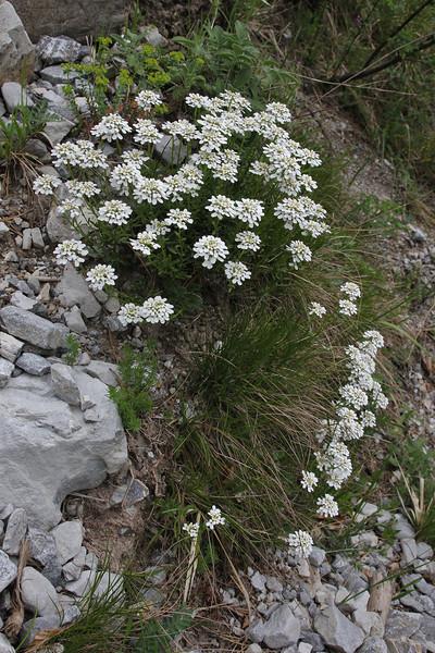 Iberis sempervirens, Prionia-Refuge A, Mount Olympus (M), Olympus NP
