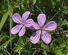 Geranium asphodeloides, Siatista-Veria