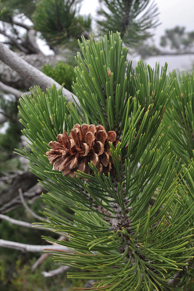 pinecone of Pinus heldreichii, Prionia-Refuge A, Mount Olympus (M), Olympus NP