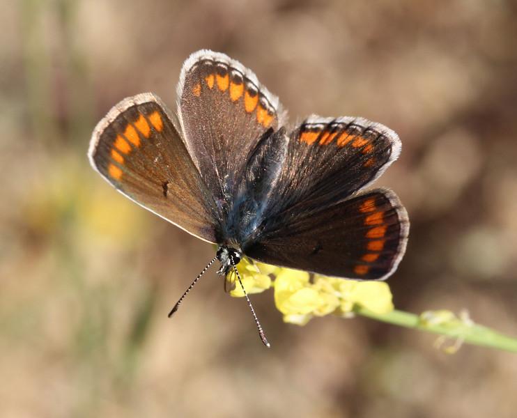 Aricia agestis, Brown Argus, (NL: bruin blauwtje), Delphi-Kroki, Above geological site