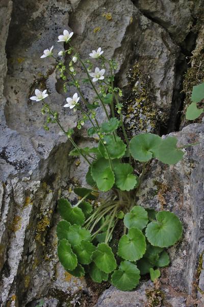 Saxifraga chrysosplenifolia, Vikos Balcony, near Monastery at Monondendri